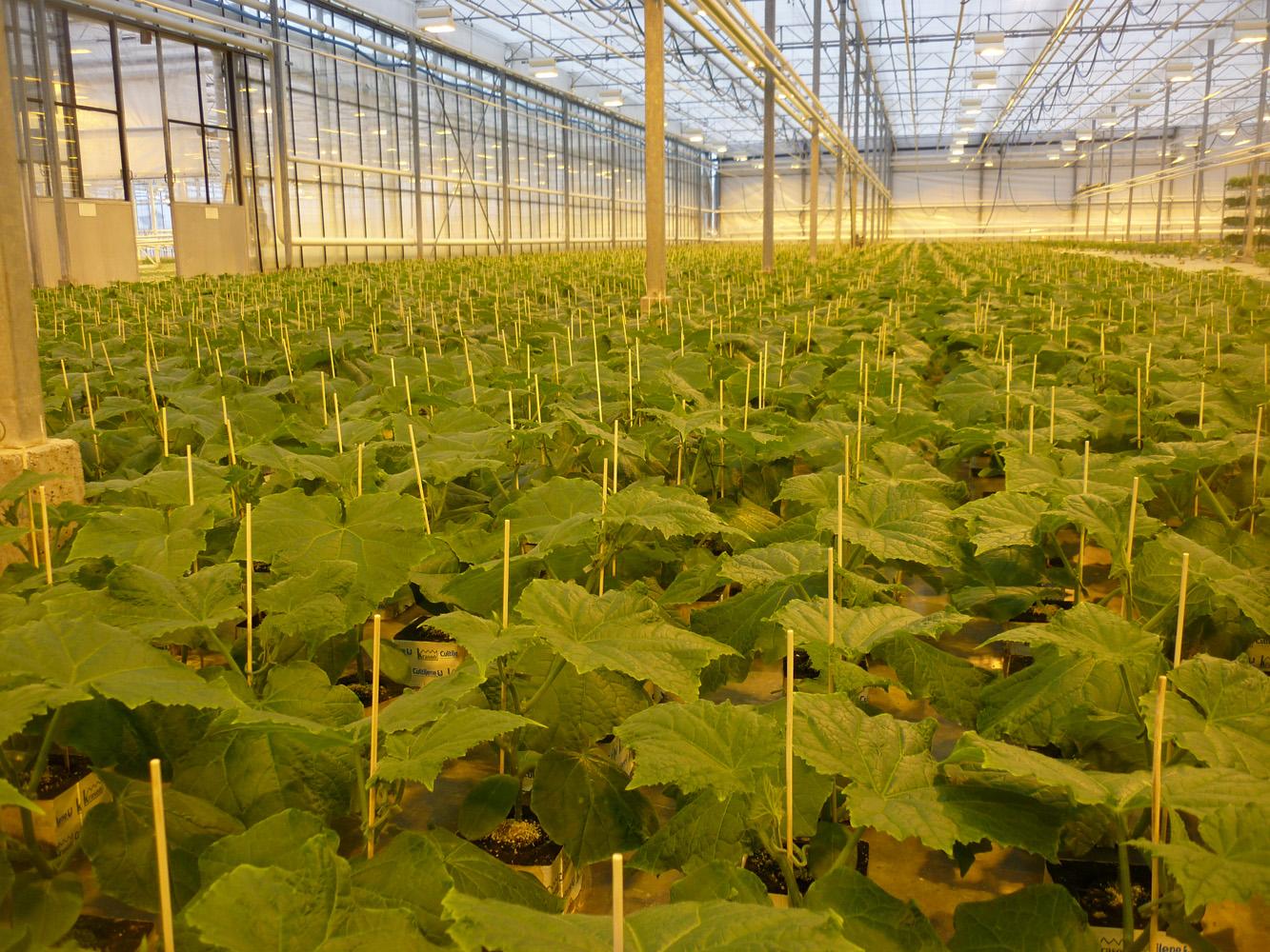 Выращивание огурцов в минеральной вате 67